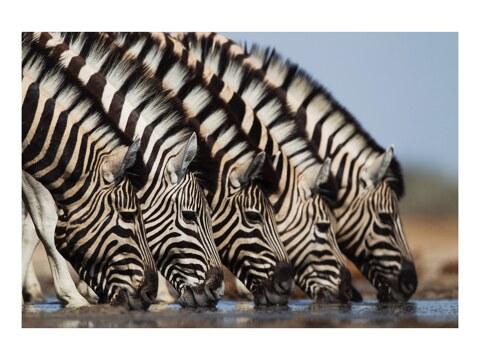 Zebras an Wasserstelle