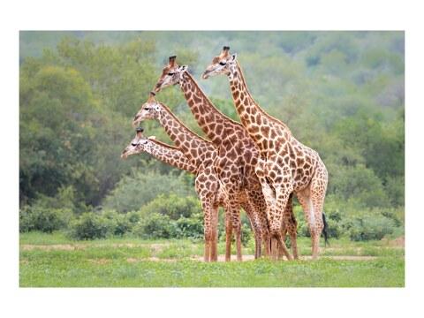 Vierkoepfige Giraffe