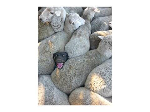 Schaeferhund in Herde verloren