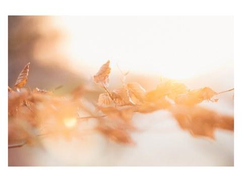 Buchenlaub in leuchtendem Sonnenuntergang