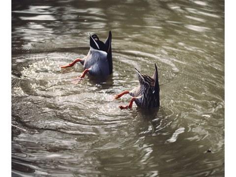 Koepfechen in das Wasser Schwaenzchen in die Hoeh