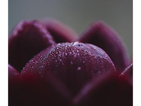 Dunkelrote Dahlienbluetenblaetter