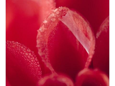 Rotes Dahlinebluetenblatt mit Morgentau