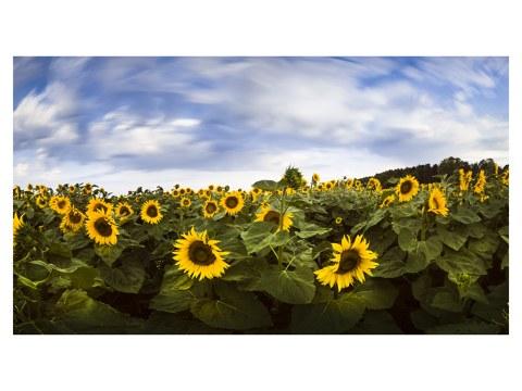 Sonnenblumenfeld Glück
