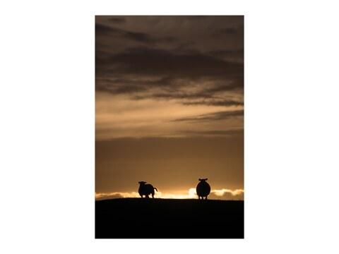 Sheep backlit
