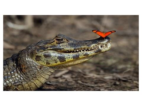 Alligator Bild