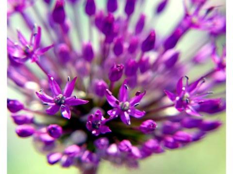 Allium Blüte