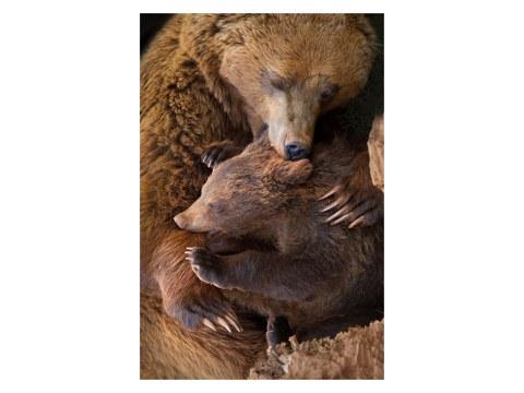 Bären Foto