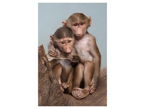 Bild Affen