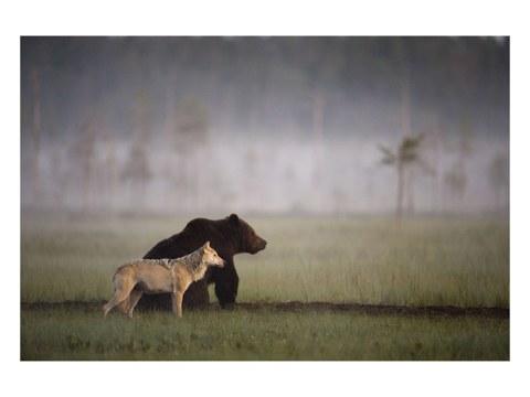 Bild Bär und Wolf