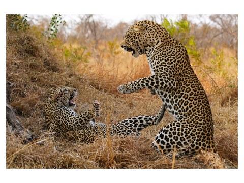 Bild Leoparden