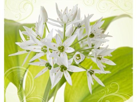 weißer Allium