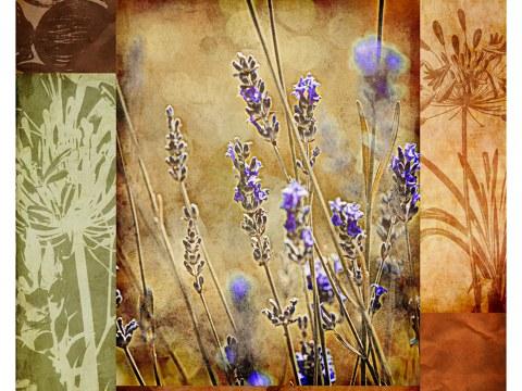 Bilder Lavendel