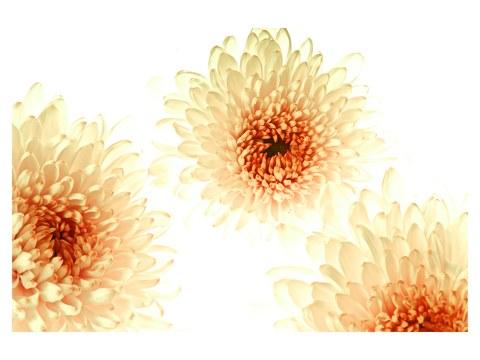 Blütenbilder Chrysanthemen