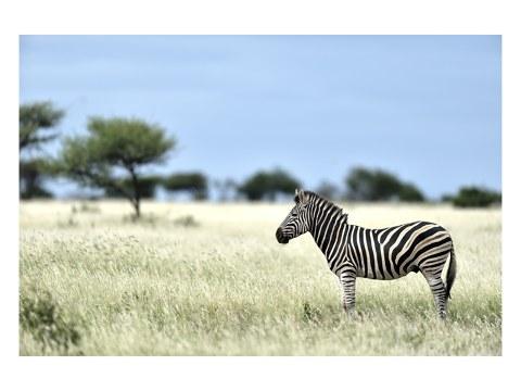 Zebra Fotografie