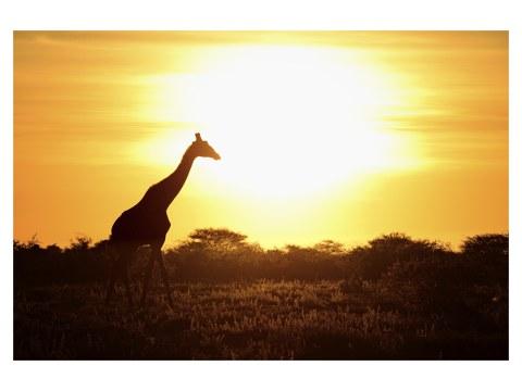 Giraffe im Sonnenuntergang