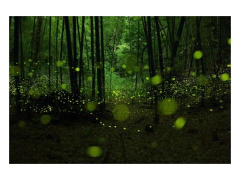 Glühwürmchen Foto