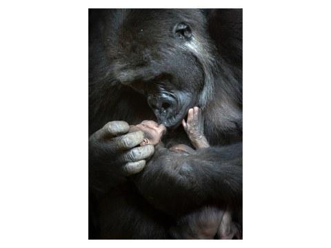 Gorillas Bild
