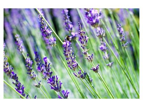 Lavendelbild