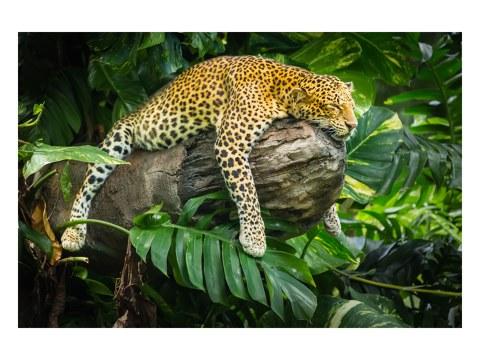 Leopard Motiv