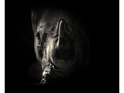 Nashorn Portrait