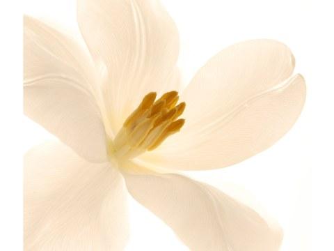 offene Tulpe Bild