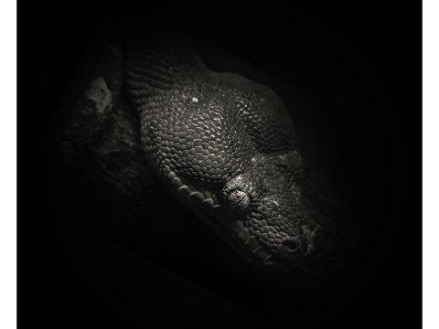 Schlange Portrait