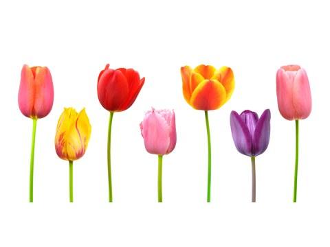 Tulpen Bild