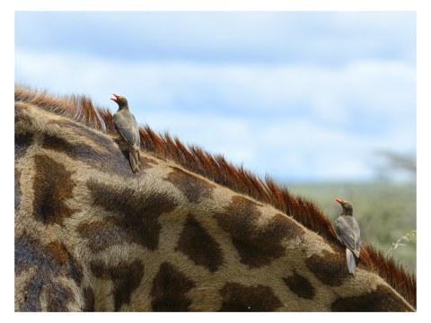 Vögel auf Giraffe