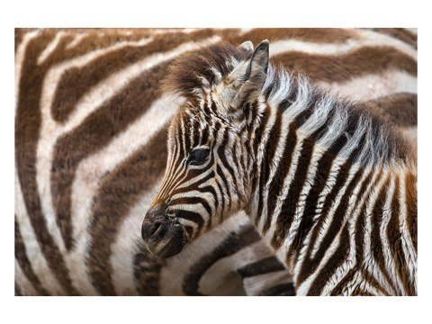 Zebra Fohlen Foto