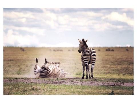 Zebras Fotografie