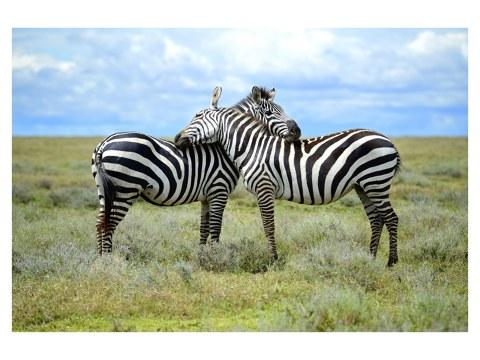 Zebras Foto