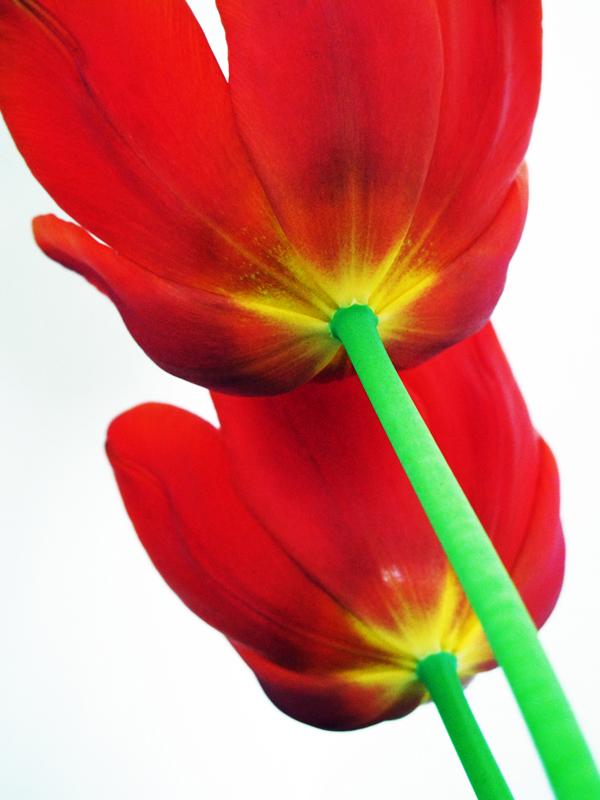 Tulpenbild mit kräftigen Farben