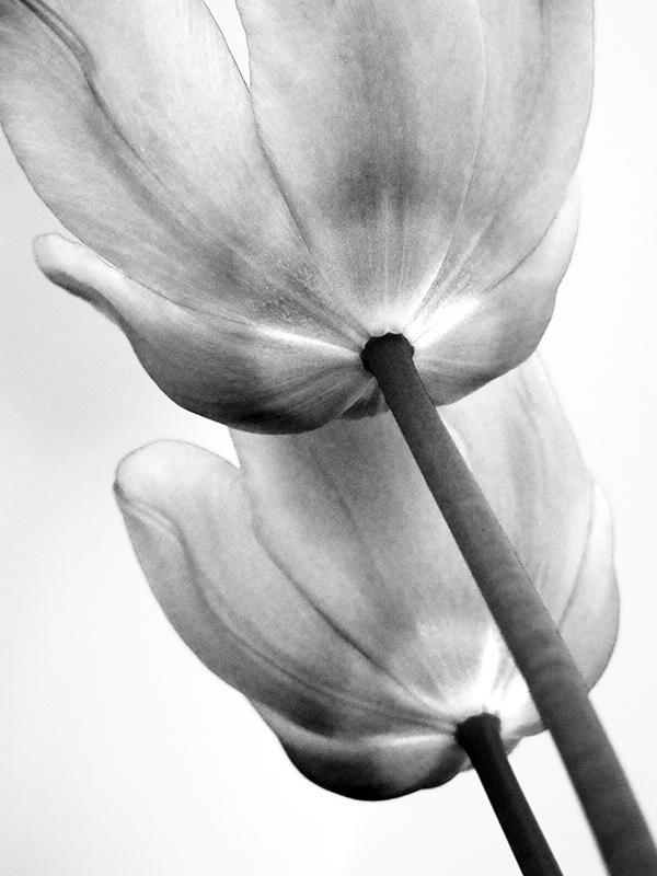 Tulpenbild in schwarz-weiß