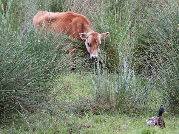 Urlaubsfoto Kuh Moment