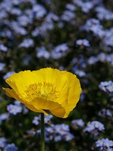 Farbkontrast Blüten Makro