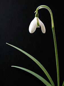 Kontrast Fotografie Schneeglöckchen