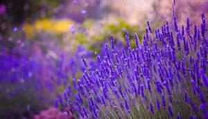 Schärfe Lavendel Bild