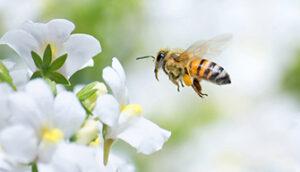 Biene auf Blüte Makro
