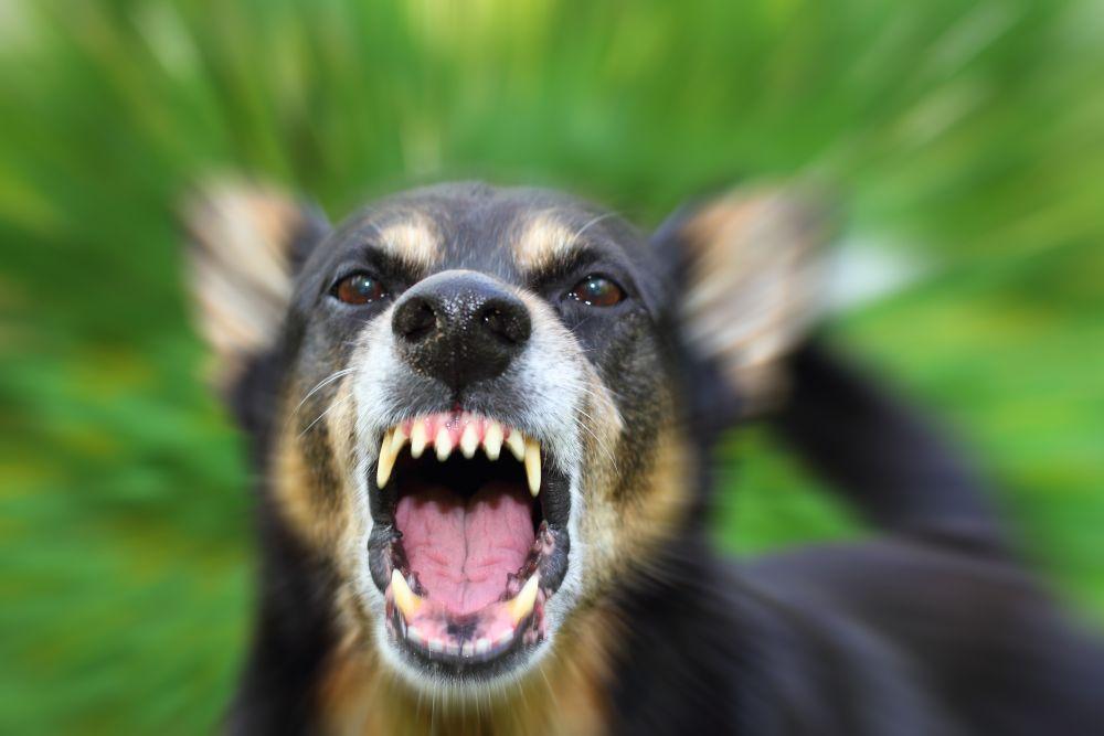 Portrait zähnefletschender Hund