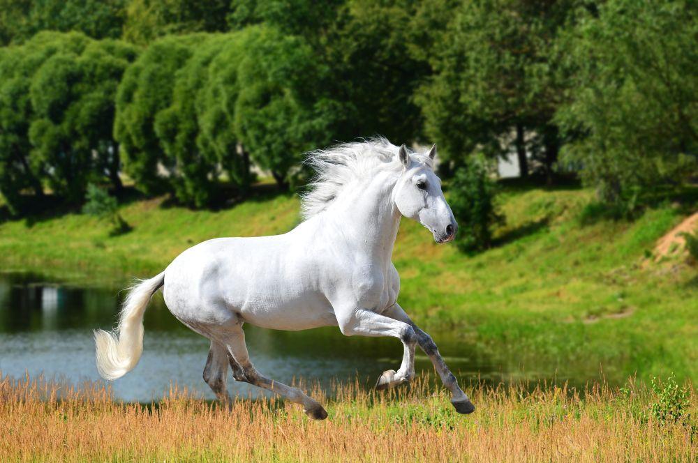 weißes Pferd am See