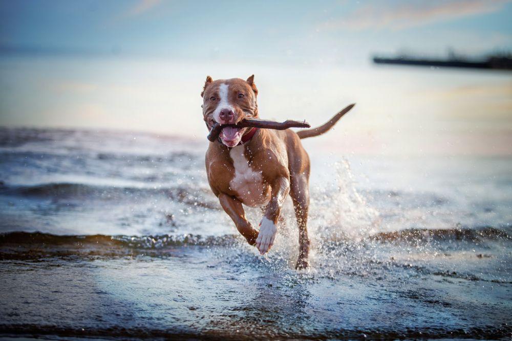 Hund mit Stock auf Kamera zulaufend