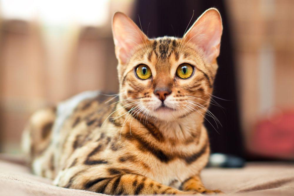 Portrait braun getigerte Katze