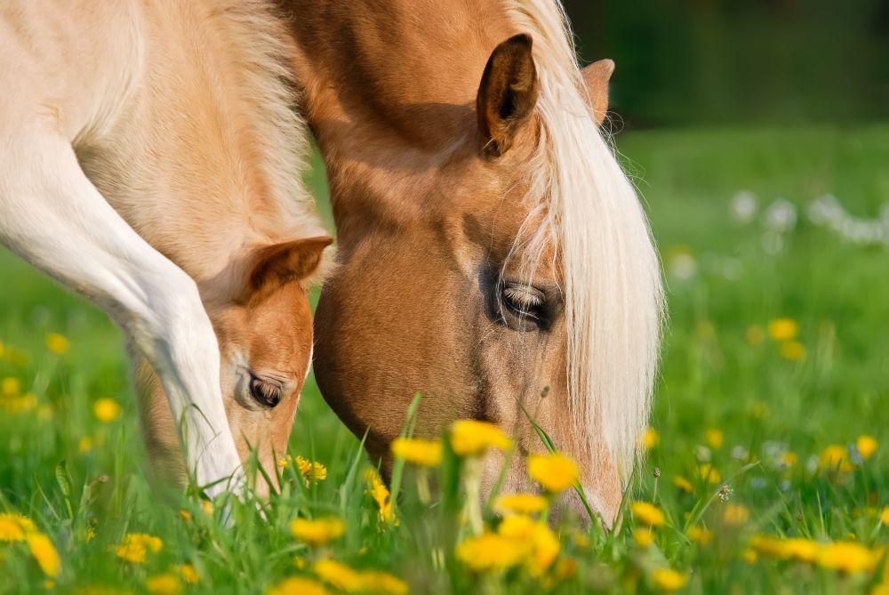 Pferde-Köpfe