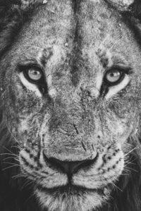 Botswana Safari Wildlife Photography Lion