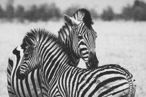 Botswana Safari Wildlife Photography Zebra black & white