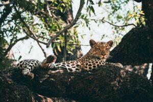 Botswana Safari Wildlife Photography Leopard Halbnah