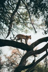 Botswana Safari Wildlife Photography Leopard Tree
