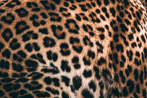 Botswana Safari Wildlife Photography Leopard Detail coat hide