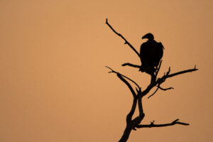 Botswana Safari Wildlife Photography vulture